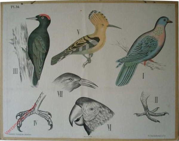 34 - Duiven, Klimvogels