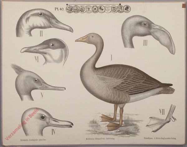 40 - Zwemvogels, c [Met gans]