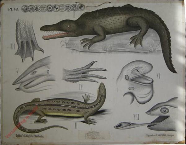 43 - Aligator; Gewone Hagedis