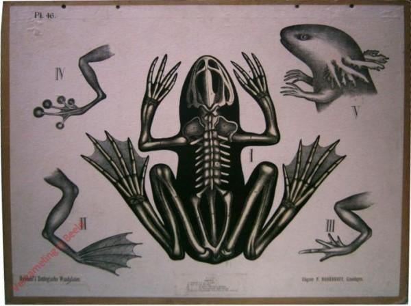 46 - Amphibien, b