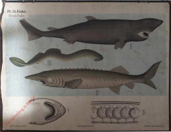 51 - Kraakbeenvisschen, b. Kraakbeenige Glansschubbigen, Rondbekken
