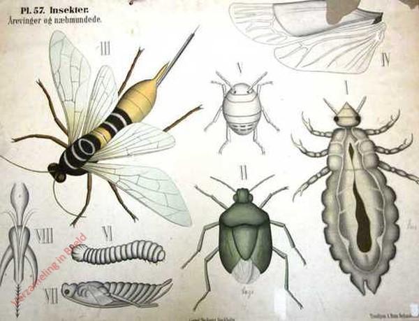 57 - Insecten. d [kleine vleugels van houtwesp meer gesloten]