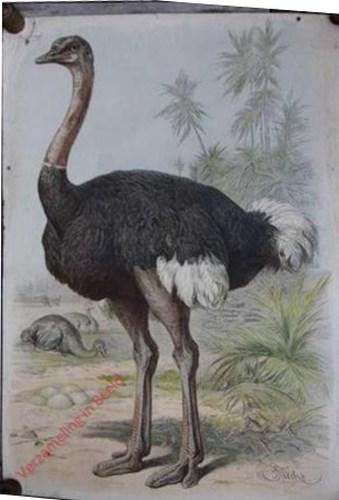 12 - Struisvogel