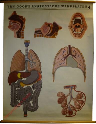 4 - a. neus-, mond en keelholte; b. mondholte; c. ademhalings- en spijsverteromgsorganen; d. borstkas; e. long