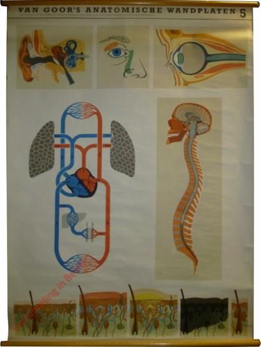 5 - a. hersenen en ruggemerg; b. bloedsomloop; c. oog; d. huid