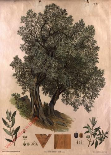 T. IX - Oelbaum