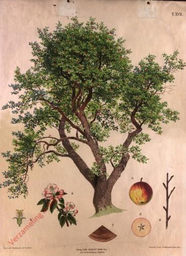 T. XVII - Apfelbaum