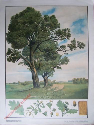 T. XVIII - Eiche [herzien]