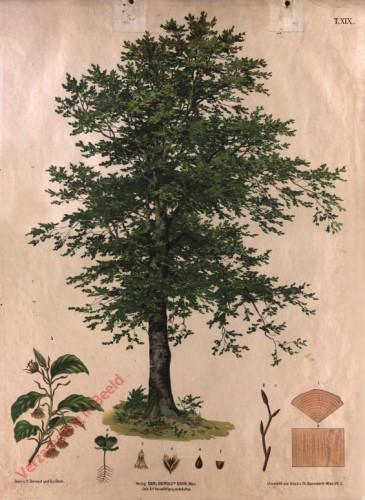 T. XIX - Rotbuche