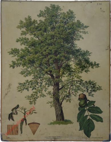 T. XX - Walnussbaum