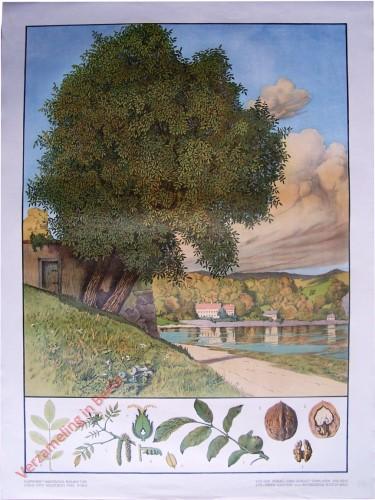 T. XX - Walnussbaum [herzien]