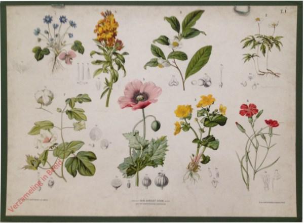 T. I - Lederblümchen, Busch-Winde, Sumpf-Dotterblume, Goldlack, Gartenmohn, Baumwolle, Tee
