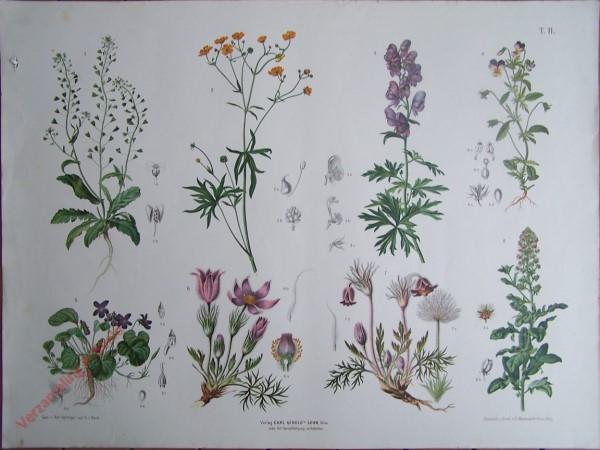 T. II - Hirtentasche, Hahnefuss, Blauer Eisenhut, Stiefmütterchen, Veilchen, Küchenschelle, Reseda