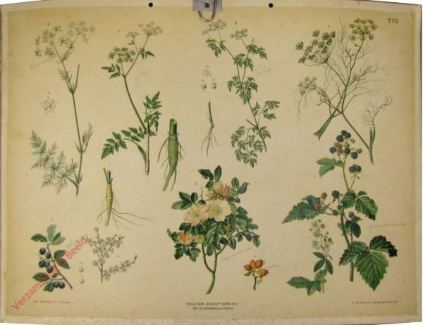T. VII - Schledorn, Wilde Rose, Brombeere, Kümmel, Fenchel, Hundspetersilie, Gefleckter Schierling
