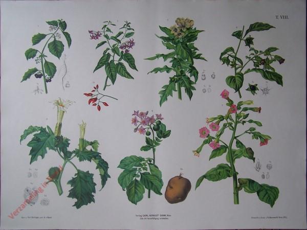 T. VIII - Nachtschatten, Bilschkraut, Tollkirsche, Stechapfel, Kartoffel, Tabak