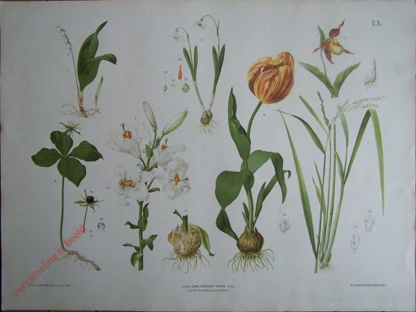 T. X - Mai-, Schneeglöckchen, Frauenschuh, Einbeere, Lilie, Tulpe, Reis