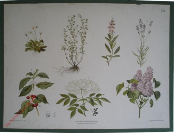 T. XI - Ganseblümchen, Majoran, Salbei, Lavendel, Kaffee, Flieder, Holunder