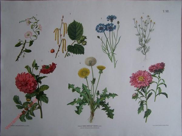 T. XII - Ackerwinde, Haselnuss, Kornblume, Kamille, Georgine, Löwenzahn, Aster
