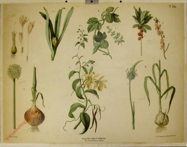 T. XIII - Herbstzeitlose, Hopfen, Seidelbast, Küchenzwiebel, Vanille, Knoblauch