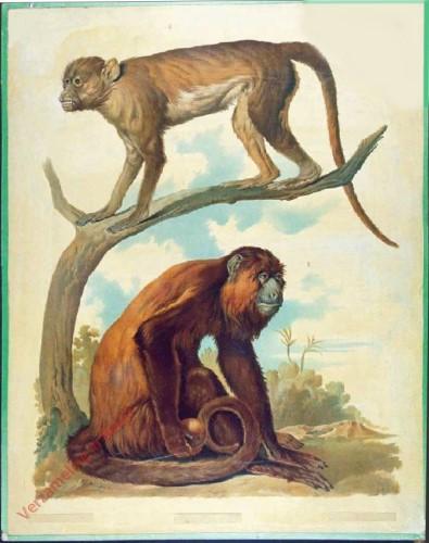 T. IA - Meerkatze, Roter Brüllaffe