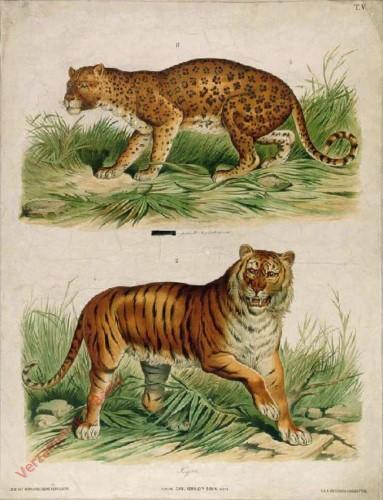 T. V - Leopard, Tiger