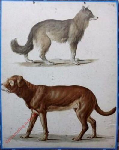 T. VII - Schäferhund, Bullenbeisser