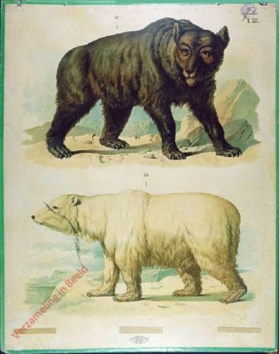 T. XII - Brauner Bär oder Gemeiner Landbär, Eis- oder Polarbär