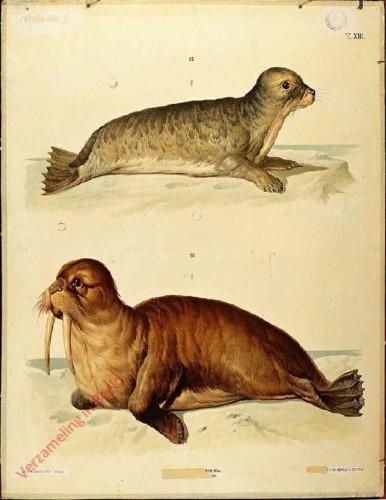 T. XIII - Gemeiner Seehund order Meerkalb, Walross