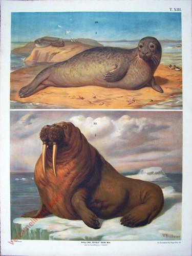 T. XIII - Gemeiner Seehund order Meerkalb, Walross [herzien]