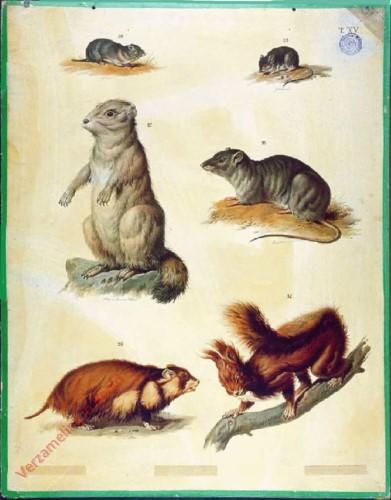 T. XV - Gemeiner Einhörchen, Hausmaus, Feldmaus, Wanderratte, Hamster, Alpen-Murmertier