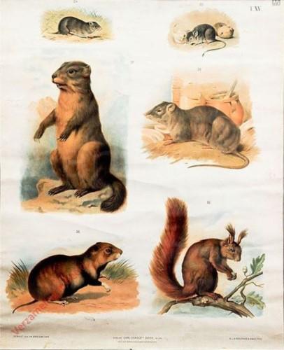 T. XV - Gemeiner Einhörchen, Hausmaus, Feldmaus, Wanderratte, Hamster, Alpen-Murmertier [herzien]