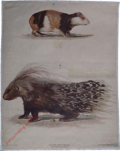 T. XVII - Meerschein, Stachelschwein