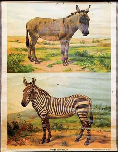 T. XX - Esel, Zebra