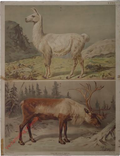 T. XXVI - Renntier, Lama [herzien]