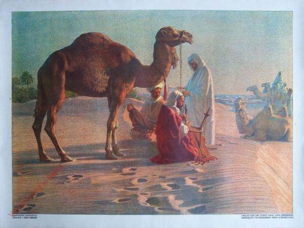 T. XXVII - Zweihöckeriges Kamel [herzien]