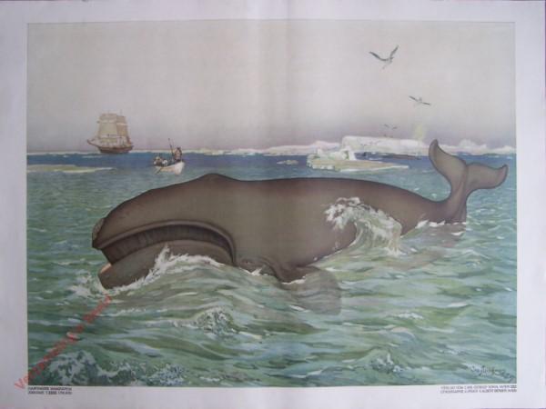 T. XXXII - Walfisch [herzien]