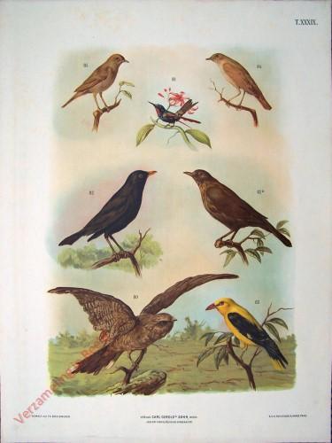 T. XXXIX - Nachtschwalbe, Gemeiner Kolibri, Amsel oder Schwarzdrosselm Goldamsel, Nachtegall, Ungarische Nachtegall [herzien]