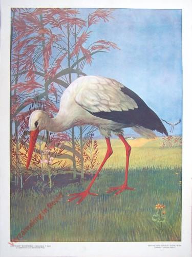 T. XLIX - Weisser Storch oder Klapperstorch [herzien]