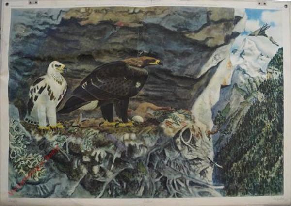 57 - Adler