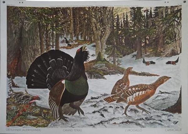 134 - Auerhühner