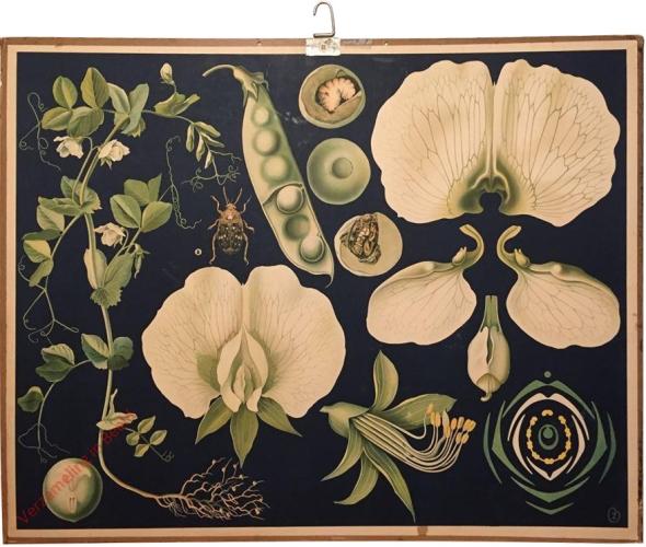 35 - Trädgårdsart. Pisum sativum