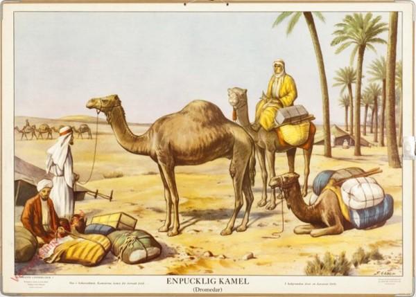 Enpucklig Kamel (Dromedar)