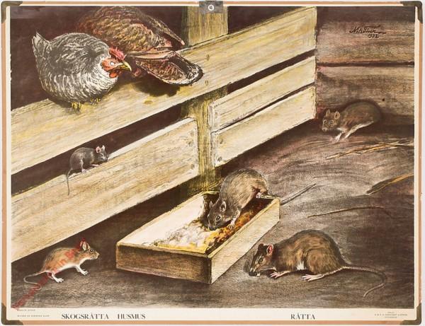 Skogsråtta, Husmus, Råtta