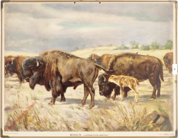 Bison (Amerikanse buffell)