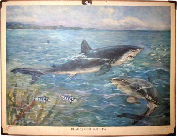 Blåhaj och lotsfisk