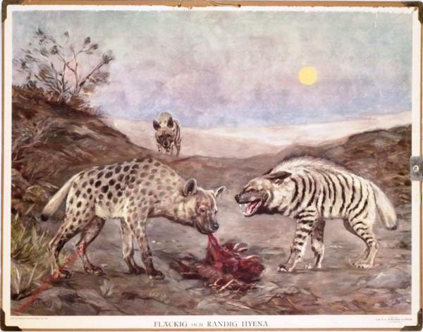 Fläckig och randig hyena