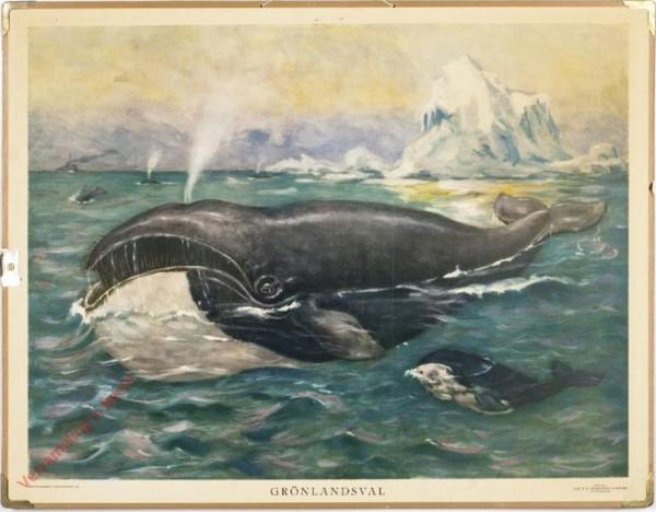 Grönlandsval