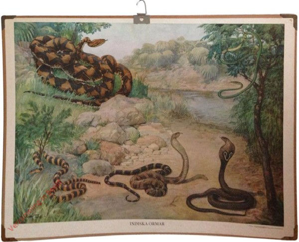 Indiska ormar