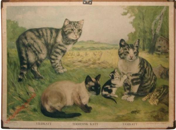Vildkatt, Siamesisk katt, Tamkatt
